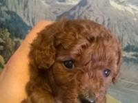 Red male toy poodle young puppy. He will certainly