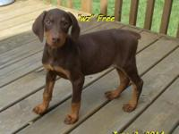 $700 w / neuter contract or $800 for Full AKC/breeding.