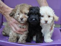 Cute AKC Red Miniature Poodle Puppies.!! 2 Males 1