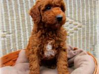 AKC Red Miniature Poodle Puppies - 6 weeks old, 2 males