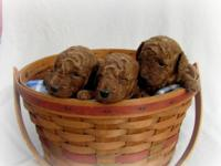 AKC Red Miniature Poodle Puppies. Born October 13, 2014