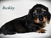 ~Beckley~ is a wild boar silky wire/long miniature