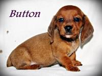 ~Button~ is a red smooth coat female dachshund puppy.