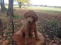 RED STANDARD POODLE BABY, FULL AKC PRICE IS 800, BOTH