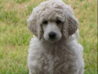 My female Kayenne is a light Red AKC Standard Poodle.