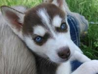 Red & & White AKC Siberian Husky male with one blue eye