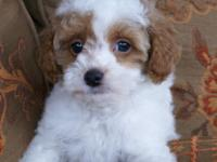 AKC Red & White Male Toy Poodle Ready Now.!! This