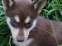Red and white Siberian husky female with one blue eye