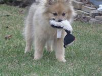 AKC Red Wolf Sable Pomeranian Male. His name is YOGI