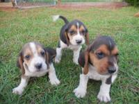 AKC registered Basset Hound puppies. Vet checked up to
