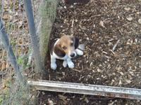 I have 2 litters of beagle puppies, 2-females, 8-males.