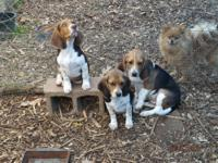 A.K.C. Reg Beagle Pups, shots and wormed, born 7-13-13,