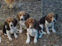 AKC Reg. Beagle Puppies, 2 different litters, both born