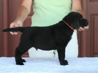 Black Labrador Retriever Boys - 2 available. Sire is