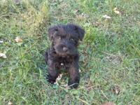 9 week old male schnauzer puppy, black in color. Born