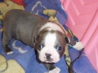 I have one Male AKC registered Blue and White Boston