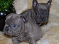 blue French bulldog pups for sale, dad is the fabulous