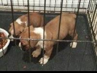 I have two fawn boxer puppies, both are utd on shots,