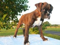 Pluto is a AKC signed up Boxer male puppy. Rate is for