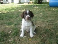 CALL NOW!! We have two male AKC Brittany Pups left. All