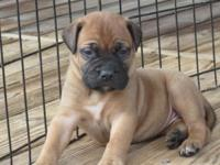 9 AKC Reg Bullmastiff young puppies. 5 males 4 ladies.