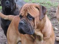 AKC Reg Bullmastiff puppies we have Male and Females,