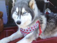 This is Siver a real sweetheart of a husky, she has a