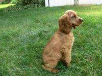 I still have a gorgeous male Cocker Spaniel available.