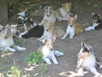 We have rough collies and smooth collie young puppies