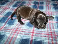 AKC Reg Dachshund Male puppy.$400 A $100 Deposit will