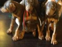 AKC Reg Doberman female (full breeding rights)born
