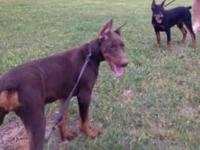 AKC reg male Doberman pup. Six weeks old. Come with