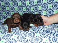AKC Reg Doberman Pincher Female Puppies Asking $500.00