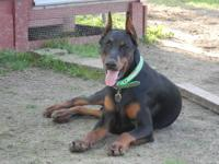 AKC Doberman Pinscher pups born JUNE 16th. I have 2