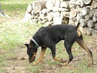 EXPECTING a litter of AKC Reg DOberman Pinscher pups