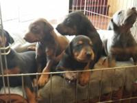 FAMILY RAISED AKC Doberman pups , DOB 09/04/15 7 males