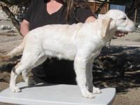 AKC reg ENG CREAM IMPORT GOLDEN RETRIEVER MALE PUP one