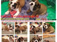 For Sale: Akc English bulldog puppies . Mother is from