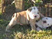He is a very nice fawn brindle and white he has a real