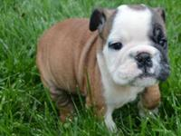 AKC regeistered english bulldog puppy. Kelly is 10