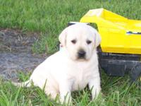 I have a litter of AKC Reg. Lab Puppies 4 females and 3