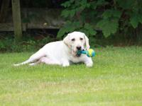 I have 2 gorgeous ENGLISH yellow labs,I am looking to