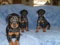 akc reg doberman puppies born march 19th will be ready