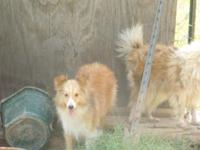 Dixie is a tiny 12 pound sheltie who is a little shy at