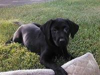 9 week old AKC lady black Lab. puppy! Super ready and