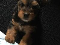 The puppies are $600.00 each. I have 2 Yorkie puppies
