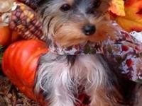 Akc reg yorkies all set week of nov 17th. 2 ladies 1100