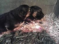 I have two males pups purebred and akc registered. Dam