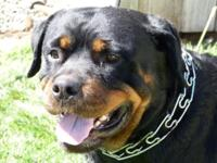 I am selling my 4 year old female Rottweiler she is