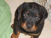 We have a very nice litter of Rottweiler puppies that